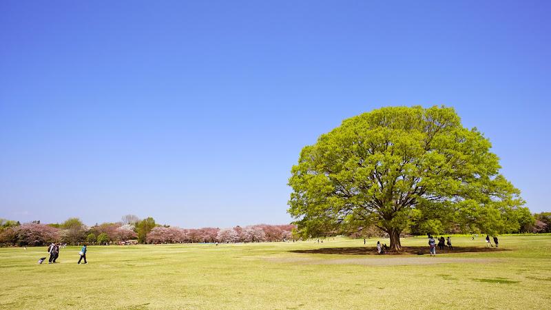 昭和記念公園 桜 写真7