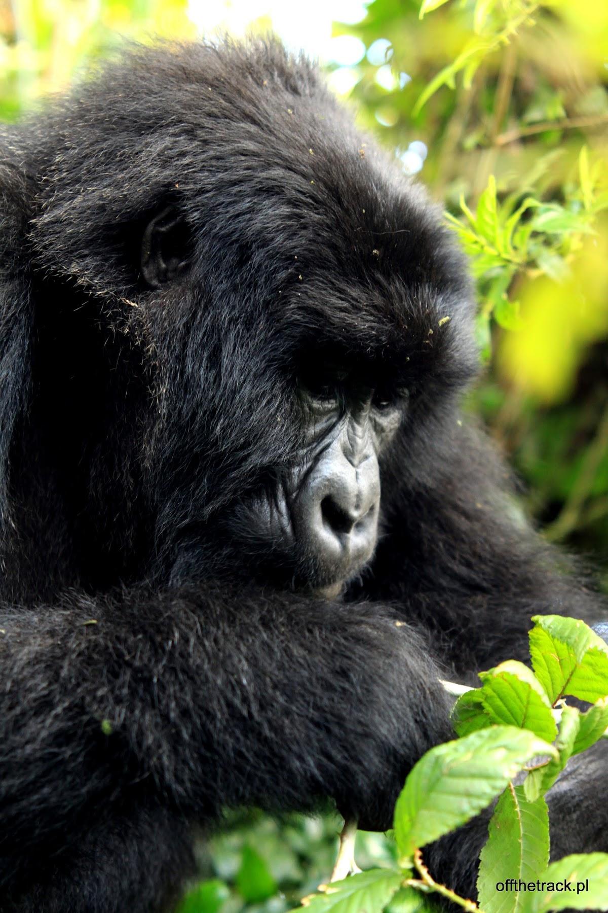 Młody goryl, The Virunga massif region, Uganda