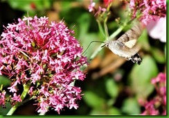 Hummingbird Hawkmoth 3rd July 2017 (1)