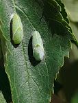 Libythea celtis pupper.jpg