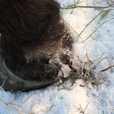A frosty hoof cleaves the frozen field.