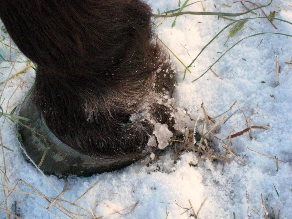 A frosty hoof cleaves the frozen field.