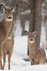 """RENDEZ-VOUS   Les """"ravages"""" sont des endroits forestiers très fréquentés par les cerfs lors des hivers rigoureux"""