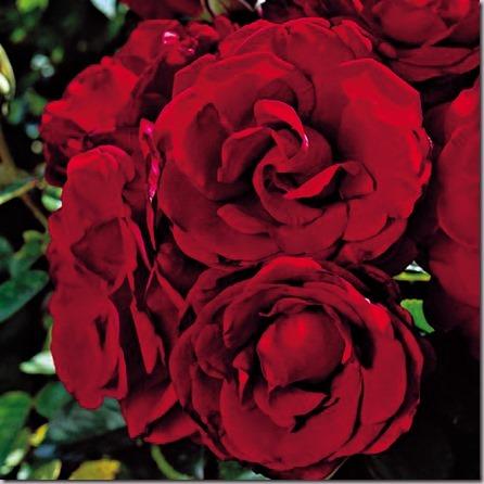 [4-roses-anniversary-rose_thumb13]