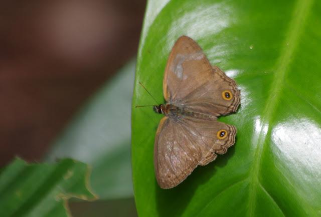 Cissia similis (A. Butler, 1867). Cupiagua, 720 m (Casanare, Colombie), 5 novembre 2015. Photo : J.-M. Gayman