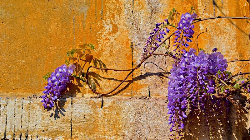 Cascate di fiori su antichi muri, la primavera tinta  di lilla di joepixel