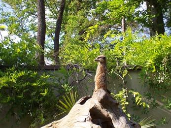 2005.05.18-025 suricate