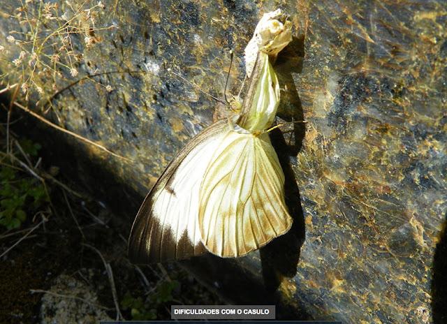 Ascia monuste orseis (GODART, 1819), femelle émergeant de son cocon. Pitangui (MG, Brésil), 11 juillet 2013. Photo : Nicodemos Rosa