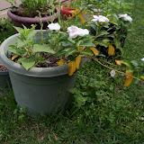 Gardening 2013 - 115_6042.JPG