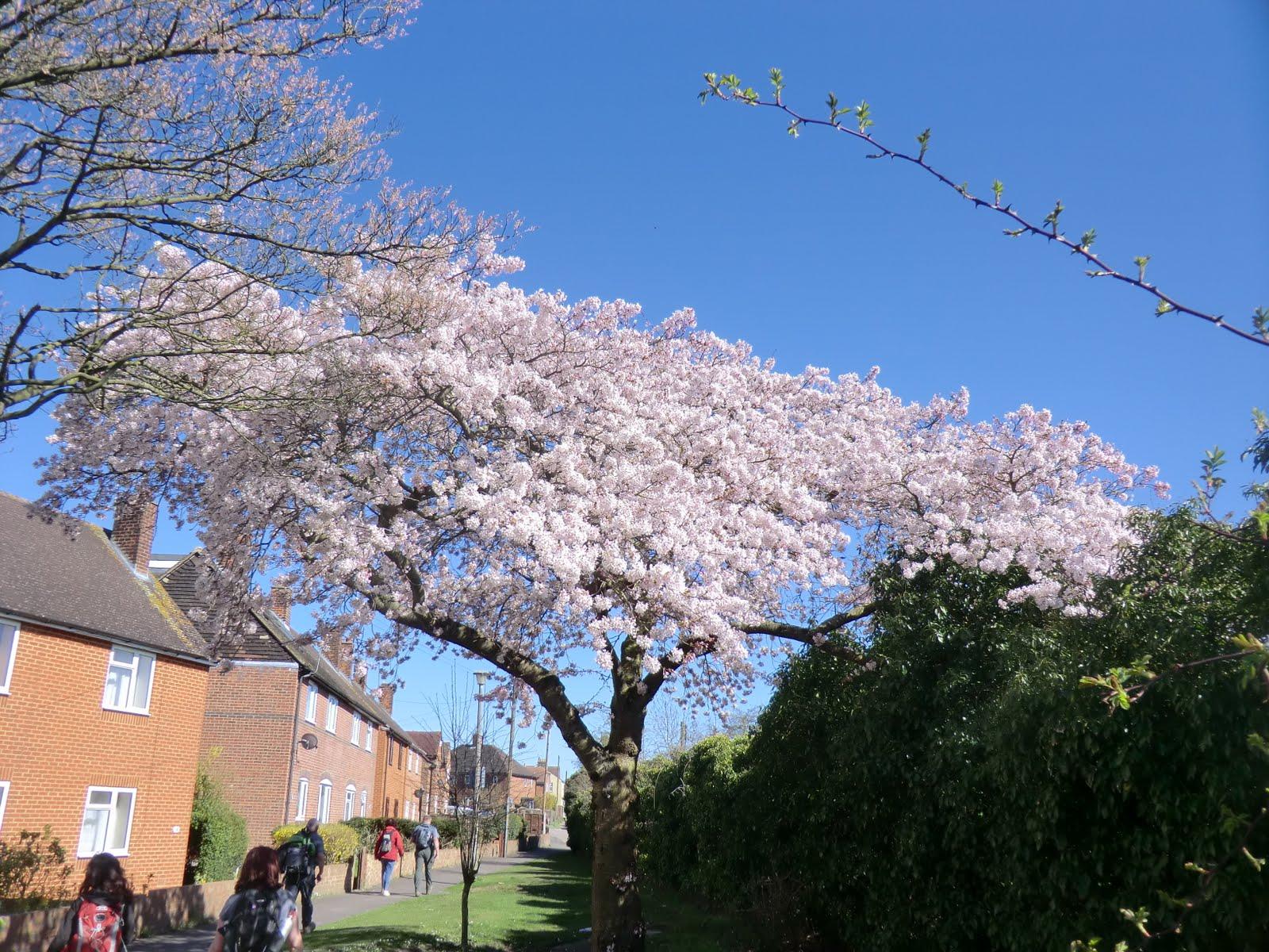 CIMG6283 Spring blossom at Upper Halling