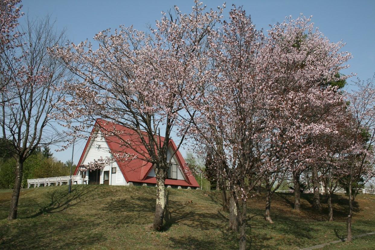金比羅公園の桜(1)