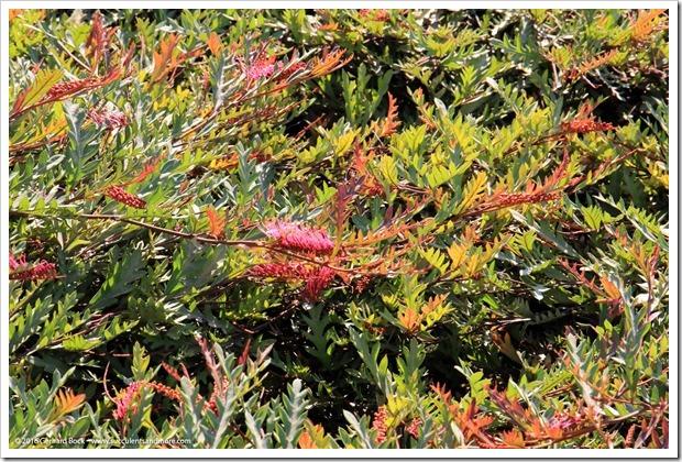 160813_UCSC_Arboretum_Grevillea-Austraflora-Fanfare_001