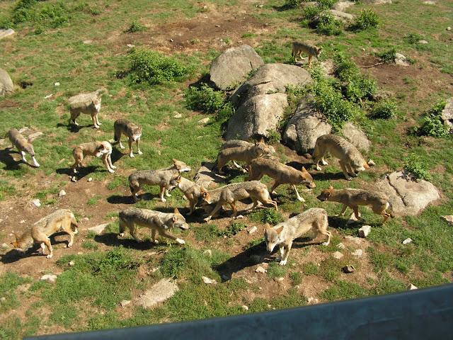 Les Loups de Chabrière PICT0464