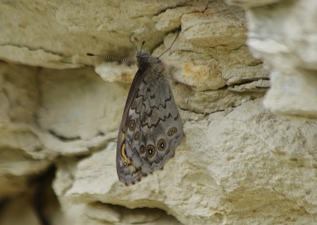 Lasiommata megera (L., 1767), femelle. Les Hautes-Courennes (450 m). Saint-Martin-de-Castillon (Vaucluse), 7 mai 2014. Photo : J.-M. Gayman