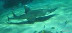 komischer platter Hai