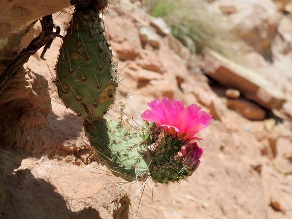 Hanging cactus in bloom