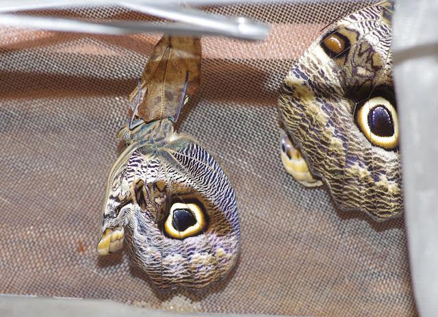 Émergence du second imago (mâle) de Caligo oileus oileus C. Felder & R. Felder, 1861. Paris, le 28 décembre 2015. Photo : J.-M. Gayman