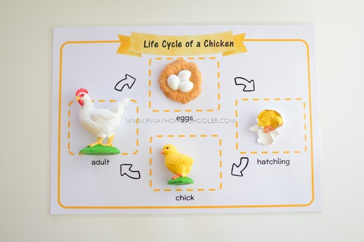 Life Cycle of a Chicken Mat