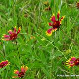 05-26-14 Texas Wildflowers - IMGP1356.JPG