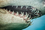 Scary jaws of a sand tiger shark (© 2014 Bernd Neeser)