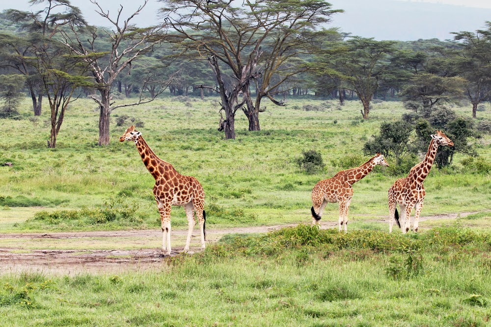 Rothschilds Giraffes in Lake Nakuru National Park, Kenya