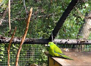Photo: Antipodes-saarten papukaija luonnonpuistossa