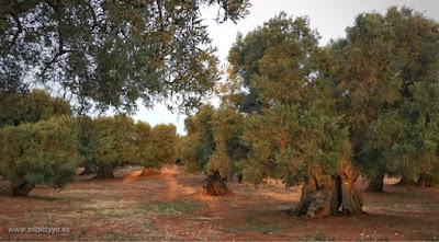 Ruta de los Olivos, Carovigno
