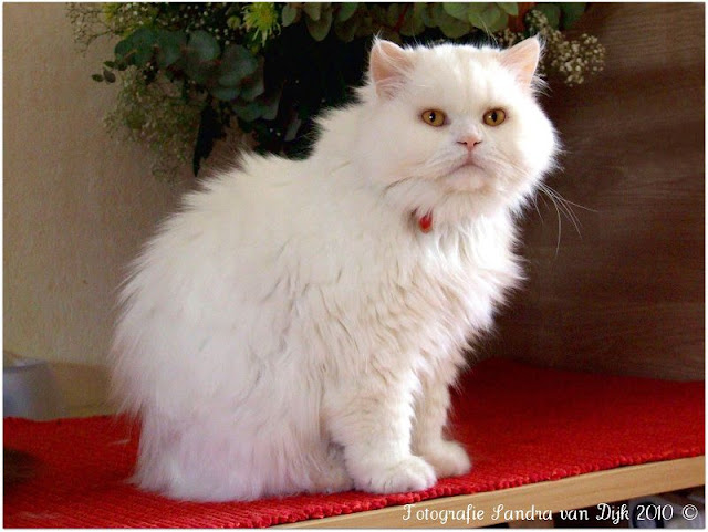 Mèo Anh Lông dài | các giống mèo lông xù