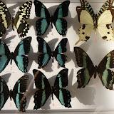 Papilionidae (1) d'Ebogo (Cameroun), avril 2013. Coll. et photo : M. Debary 1. Papilio demodocus demodocus ; 2.  P. chrapkowskoides ; 3. P. nireus nireus, mâle ; 4. P. sosia pulchra ; 5. P. chrapkowskoides ; 6. P. nireus nireus, mâle ; 7. Graphium antheus ; 8. P. dardanus, mâle ; 9.  P. nireus nireus, femelle.