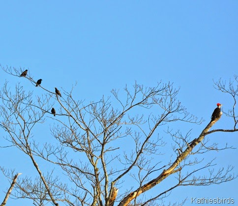 2. starlings and pileated woodpecker-kab