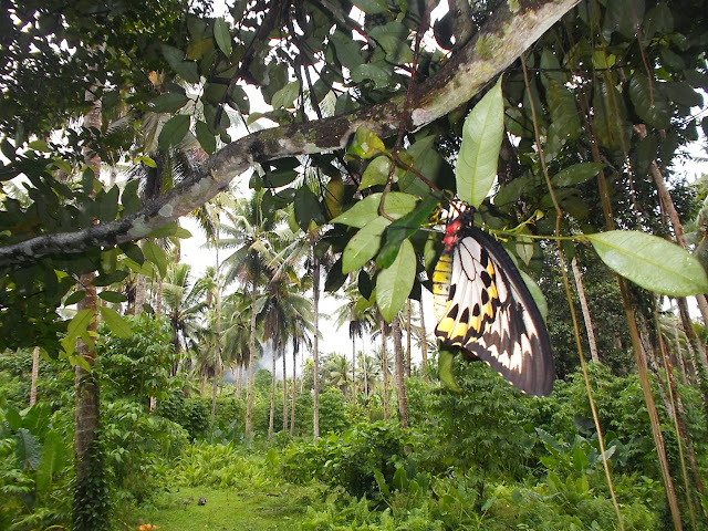 Ornithoptera croesus lydius (FELDER, 1865), femelle. Halmahera (Moluques, Indonésie), 19 septembre 2013. Photo : Eko Harwanto