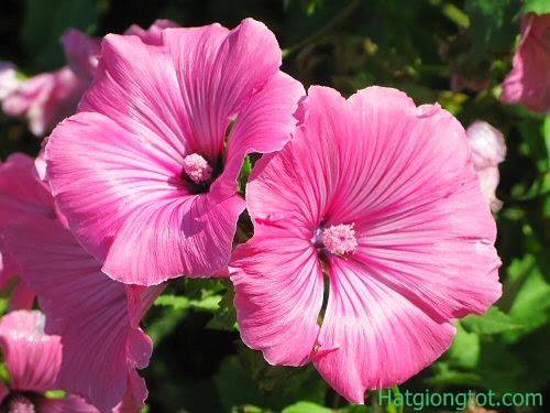Hạt giống hoa cẩm quỳ
