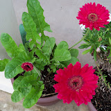 Gardening 2012 - 115_1417.JPG