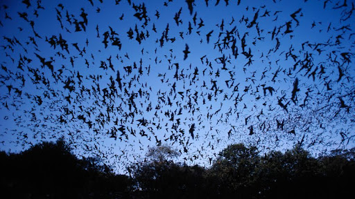 Mexican Free-Tailed Bats, Bracken Cave, Texas.jpg