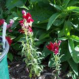 Gardening 2010, Part Three - 101_3741.JPG