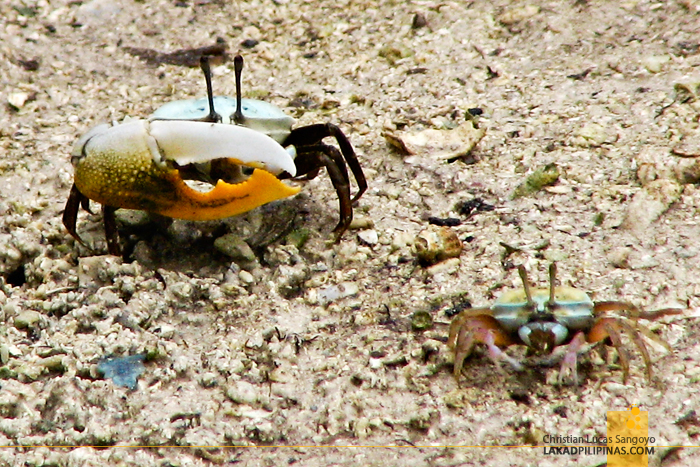 The Fiddler Crabs at the Mangrove at the back of Mactan's Lapu-Lapu Shrine