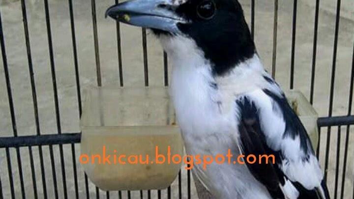 Perawatan Tepat Untuk Burung Jagal Papua Agar Rajin Bunyi On Kicau