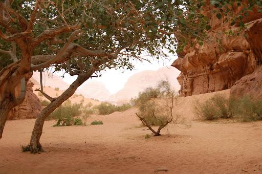 Деревья в  Wadi Rum