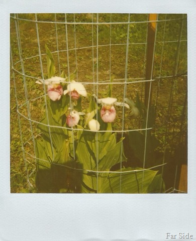 Lady Slippers at the resort 1989