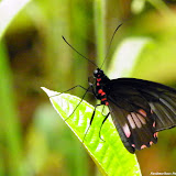 Parides neophilus eurybates (GRAY, [1853]), femelle. Pitangui (MG, Brésil), 12 janvier 2013. Photo : Nicodemos Rosa