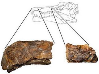 Fossili trovati nella Ilha de Cajual, fonte: o tempo dos dinossauros