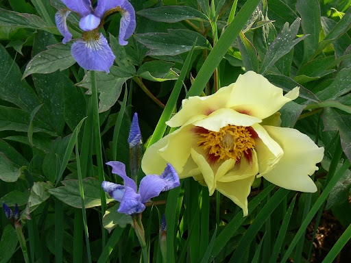 Yellow Peony and lavender Iris in spring.