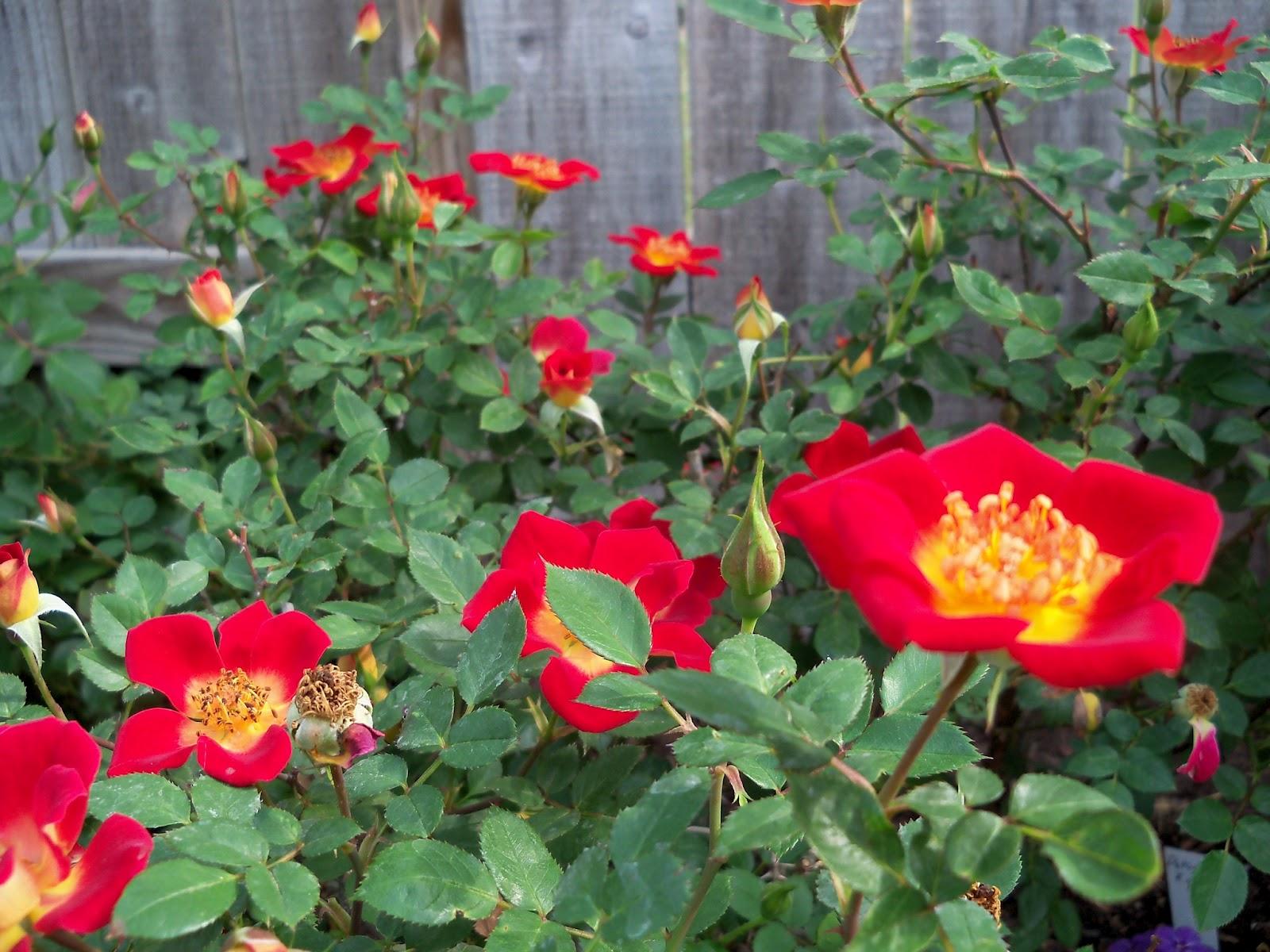 Gardening 2011 - 100_7148.JPG