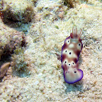 Nudibranch (Pemuteran, North Bali)
