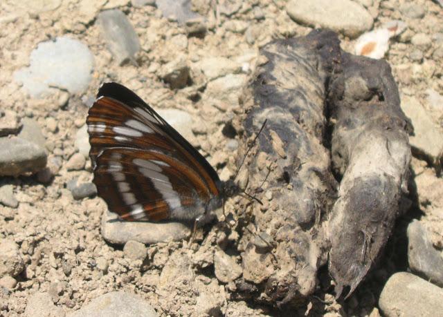 Neptis philyra MÉNÉTRIÉS, 1859. Tigrovoy, 25 juin 2011. Photo : J. Michel
