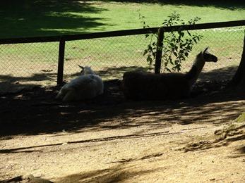 2017.06.17-040 lamas