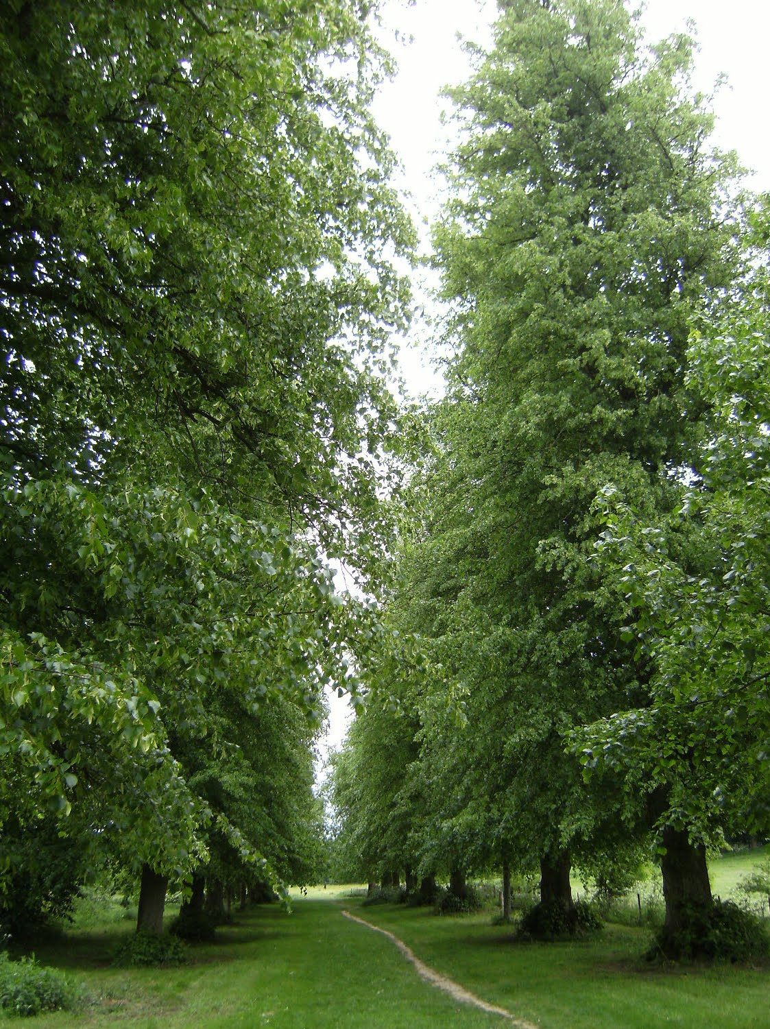 DSCF7921 Avenue of lime trees