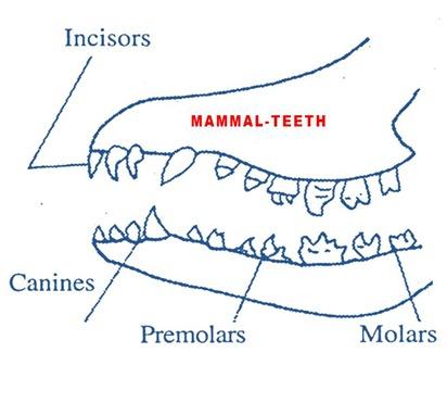 teeth-mammals