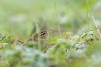 REPAS   Troglodyte mignon et sa proie dans le jardin botanique de Genève