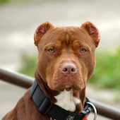 American Pit Bull Terrier Wall